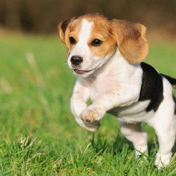 Câinii, leac pentru bolnavii de inimă