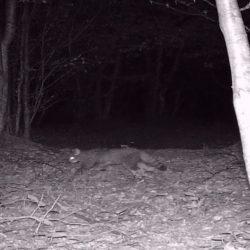 VIDEO. A ieșit la vânătoare! Imagini din Parcul Național Semenic - Cheile Carașului