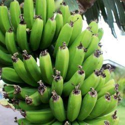 Bananele… pe cale de dispariţie?