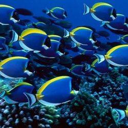 Cum comunică peştii între ei?