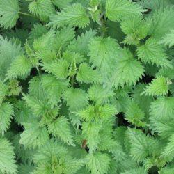 Urzica - beneficii ale plantei-medicament